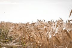 Wheat crop field. Ears of golden wheat close up. Ripening ears of wheat field background. Rich harvest Concept. stock image