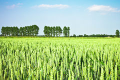 Wheat crop Royalty Free Stock Photos