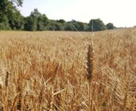Wheat, Crop, Food Grain, Field royalty free stock images