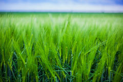 Wheat crop Stock Images