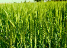 Wheat crop. Green crop of wheat at an indian farm Royalty Free Stock Photo