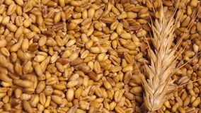 Wheat crop harvest stock video footage