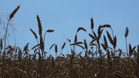 Wheat Crop In Harvest Time. Crop field swaying in the wind in harvest time in the summer. Cereal ear view.n stock footage