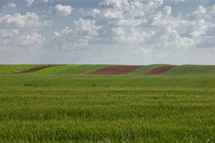 Wheat crop  with lots of plowing Royalty Free Stock Photo