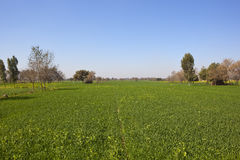 Wheat crop in rajasthan. A green wheat crop with acacia and poplar trees in rajasthan india in springtime under a clear blue sky Stock Images