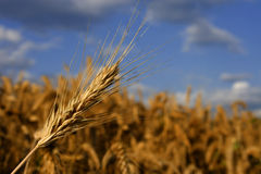 Wheat crop ready for harvest Stock Images