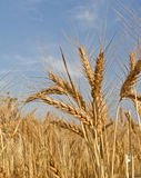 Wheat crop. Ripen crop of wheat at an india farm Royalty Free Stock Image