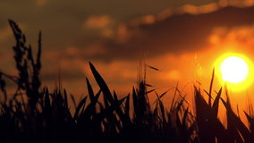Wheat Crop Silhouette in Cultivated Agricultural Field in Sunset stock video footage