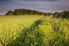 Wheat Crop in Springtime Royalty Free Stock Photography