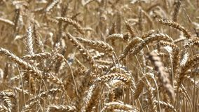 Wheat Crop Sway. Crop field swaying in the wind in harvest time in the summer. Cereal ear view stock footage