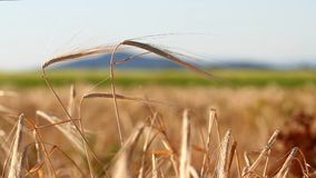 Wheat crop sways on the field against the sky. Original high quality video without any processing. Wheat crop sways on the field against the sky. Original high stock video