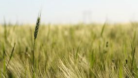 Wheat crop sways on the field against the sky. Original high quality video without any processing. Wheat crop sways on the field against the sky. Original high stock video footage