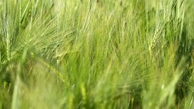 Wheat crop sways on the field against the sky. Original high quality video without any processing. Wheat crop sways on the field against the sky. Original high stock footage