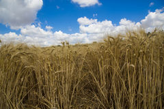 Wheat crop Stock Photos