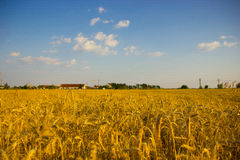 Wheat crop royalty free stock images