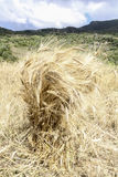 Wheat cropped and ready to be transferred, wheat field Royalty Free Stock Photography