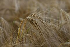 Wheat crops Stock Image