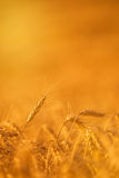Wheat Crops in Agricultural Field Royalty Free Stock Photos