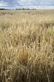 Wheat crops field with cloudy windy sky Stock Photo