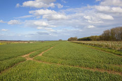 Wheat crops in springtime Royalty Free Stock Image
