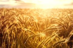Wheat crops towards the setting sun Stock Photography