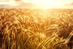 Wheat crops towards the setting sun Stock Photography