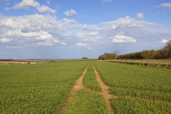 Wheat crops in the yorkshire wolds Stock Photo