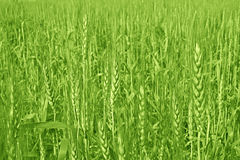Wheat cultivation and Farming. Green Golden Wheat cultivation technique in India Stock Images