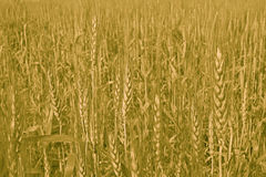 Wheat cultivation and Farming. Golden Wheat  Harvest  in India Royalty Free Stock Photo