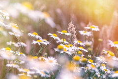 Wheat and daisy flowers - chamomile Royalty Free Stock Photos