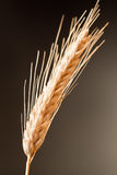 Wheat On The Dark Background Royalty Free Stock Photos