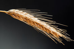Wheat On The Dark Background Stock Image