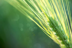 Wheat Defocused Background whith copy space Stock Photos