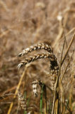 Wheat detail. Close up of some ears of wheat in a field awaiting harvest. Hampshire, England royalty free stock photos