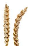 Wheat detail Stock Photo