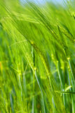 Wheat Detail Stock Photography