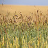 Wheat. Detail of a wheat field in summer – ready for harvest Royalty Free Stock Image