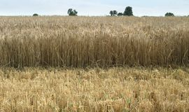 Wheat detail at summer time Royalty Free Stock Photography