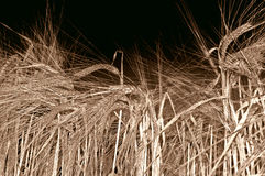 Wheat doe - sepia. Wheat ears and stalks from close distance stock photos
