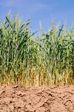 Wheat in Dry Fields Royalty Free Stock Photo