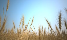 Wheat dry summer background Stock Photo