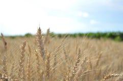Wheat. Drying in the sun Stock Photos