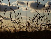 Wheat by dusk Stock Image