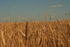 Wheat ear Royalty Free Stock Photo