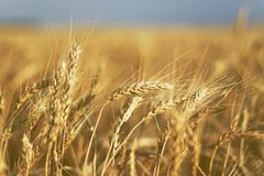 Wheat in the ear Royalty Free Stock Images
