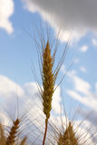 Wheat ear. Against a background of the sky royalty free stock image
