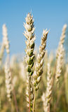 Wheat ear. Mature wheat spike on a background of sky Stock Photo