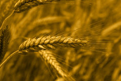 Wheat ear. Golden wheat on field background Stock Image