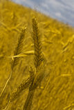 Wheat ear Royalty Free Stock Photos