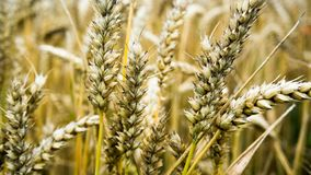 Closeup of a wheat ear on farmland. Macro stock images